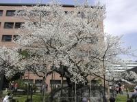sakura-morioka01.JPG