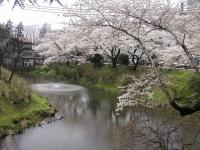 sakura-morioka10.JPG