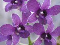 dendrobium_blue_violet-1.jpg
